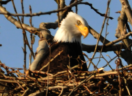 bald_eagle-head